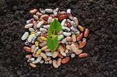 picture of germination  - top view of bean seed germination in soil with some seeds - JPG
