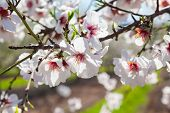 Beautiful Almond Tree Flowers In The Spring