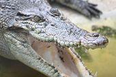 Head Of A Crocodile Fresh Water.