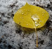 Aspen Leaf and Snow
