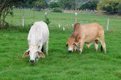 stock photo of zebu  - Cattle of zebu or angus in a countryside farm - JPG