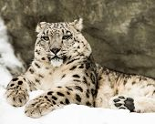 picture of snow-leopard  - Frontal portrait of Snow Leopard in snow - JPG