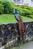 Beautiful Colorful Peacock Bird