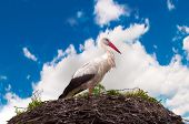 Stork Standing On A Nest