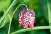 Snake's Head Fritillary Flower