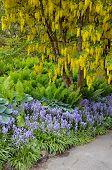 Yellow Laburnum Tree In Spring Garden