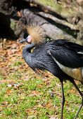 Crowned Crane Of West Africa
