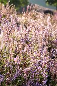 Heather In Bloom