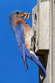 Eastern Bluebirdon A Nestbox