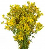 Bouquet St John's wort Isolated on White Background