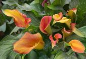 Orange Calla Lily With Many Leaves