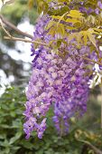 Purple Pinkish Wisteria