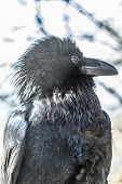 ?ommon Raven The Corvus Corax