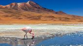 stock photo of flamingo  - Flamingo in a lake of Atacama desert - JPG