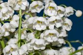 Lily Of The Valley - The Symbol Of Spring, Warmth, Purity And Tenderness
