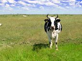 cow in a beautiful pasture.
