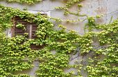 Wall with window overgrown with wine