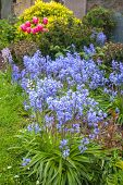 Spring Bluebells In The Garden