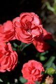 Pink Carnation Flowers In The Garden