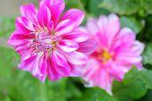 Dahlia Flower Growing In The Garden