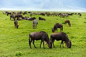 Great migration of wildebeests in Serengeti national park, Tanzania