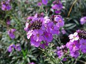 Erysimum Plant