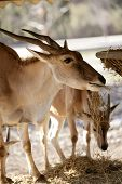 pic of eland  - Eland antelope eating farm manger - JPG
