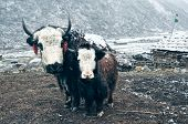 foto of yaks  - Yak standing with its adorable young at the foot of a snowy - JPG