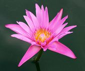 stock photo of lilly  - the pink water lilly over dark green water pool - JPG