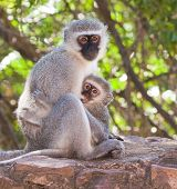 Vervet monkey with baby