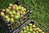 Sale Boxes With Pear