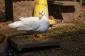 Duck In The Farm