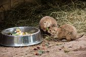 Black-tailed Prairie Dogs Eat Fruit