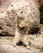 The European Ground Squirrel