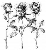 picture of single white rose  - Single roses drawing set - JPG