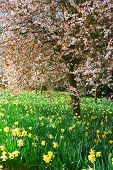 foto of daffodils  - Meadow with daffodil and cherry tree in bloom - JPG