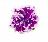 Petunia Isolated On White