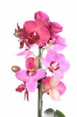 Постер, плакат: Orchid цветы