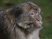 Barary Macaque