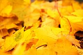 Yellow Autumn Maple Leaves Fallen