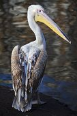 A full length portrait of a young pink pelican.