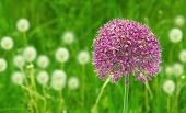Allium Purple Sensation Flower Within A Field Of Dandelions