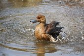 Duck Splashes In The Pond.