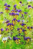 Beautiful Pansies Flowers