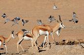 Springbok antelopes (Antidorcas marsupialis) and flying doves at a waterhole, Kalahari desert, South Africa