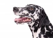 Beautiful Female Dalmatian Dog Isolated