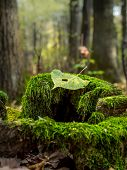 Dead leaf lying on moss-grown tree stump in the forest
