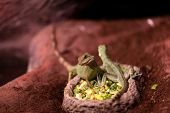 pic of terrarium  - Lizards sitting on a plate with food at terrarium - JPG