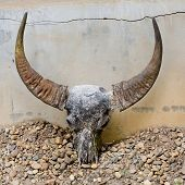 picture of cow skeleton  - Closeup decoration design of head skull of bull - JPG