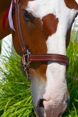 pic of clydesdale  - Portrait of Clydesdale - JPG